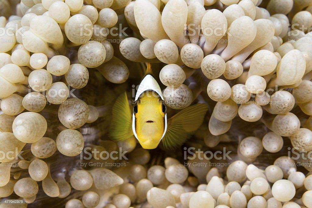 Yellow clownfish stock photo