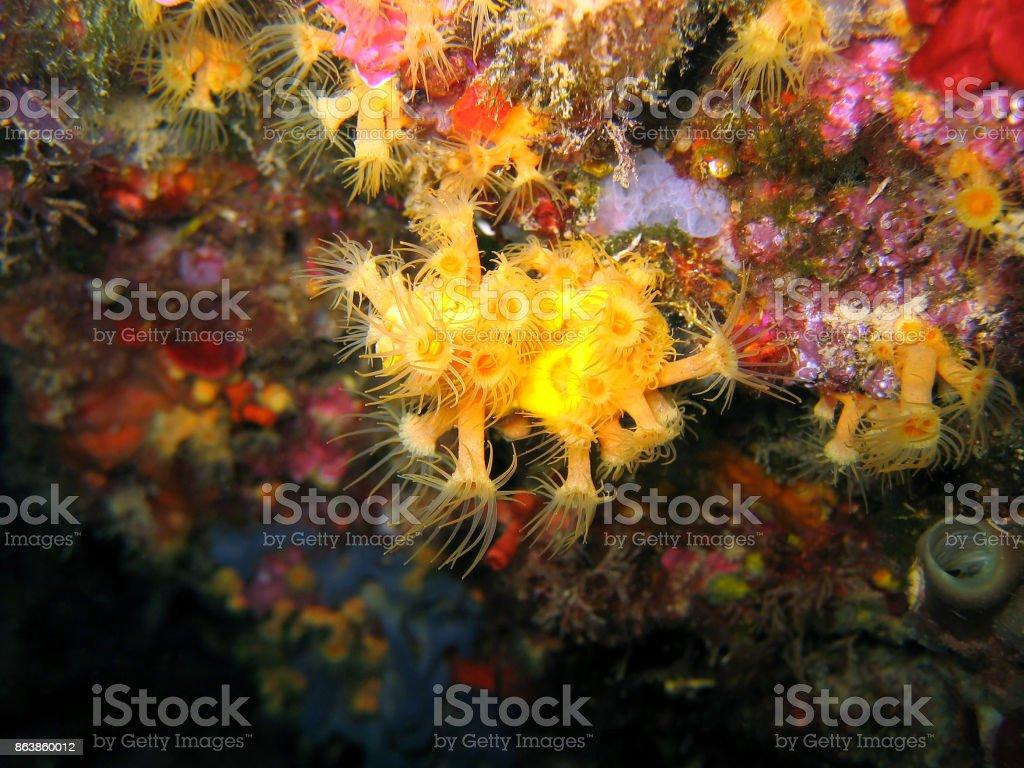 Yellow cluster anemone stock photo