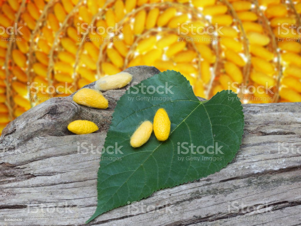 yellow cocoons and mulberry leaf on dead tree stock photo