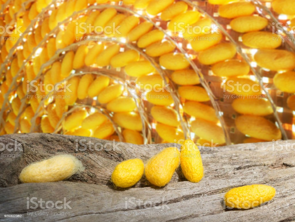 yellow cocoons   on dead tree and the sun is shinning on it stock photo