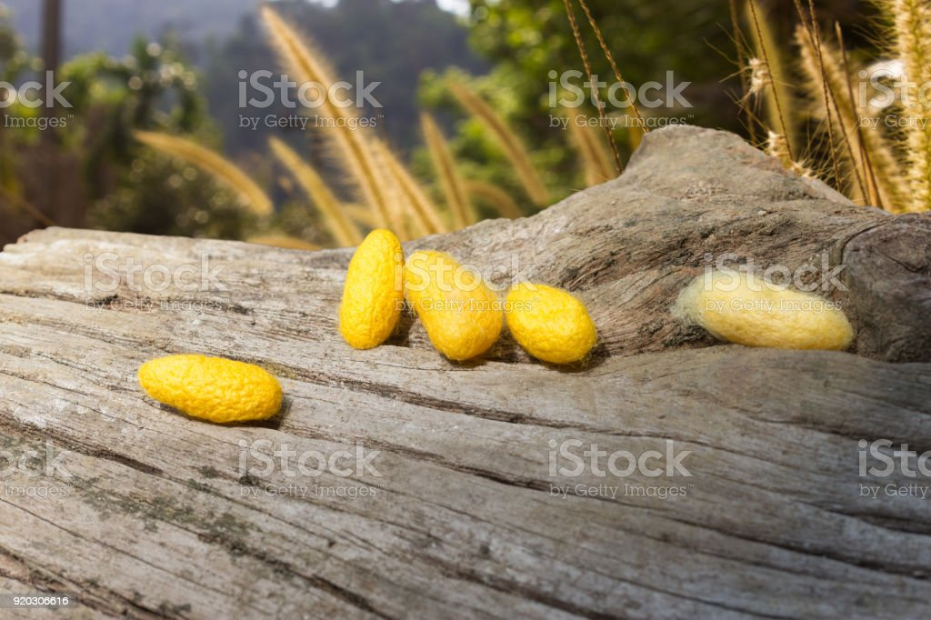 yellow cocoons put on a cracked stub stock photo
