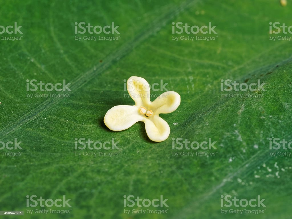 Yellow Color Flowers Of Osmanthus On Big Green Leaf Background Stock