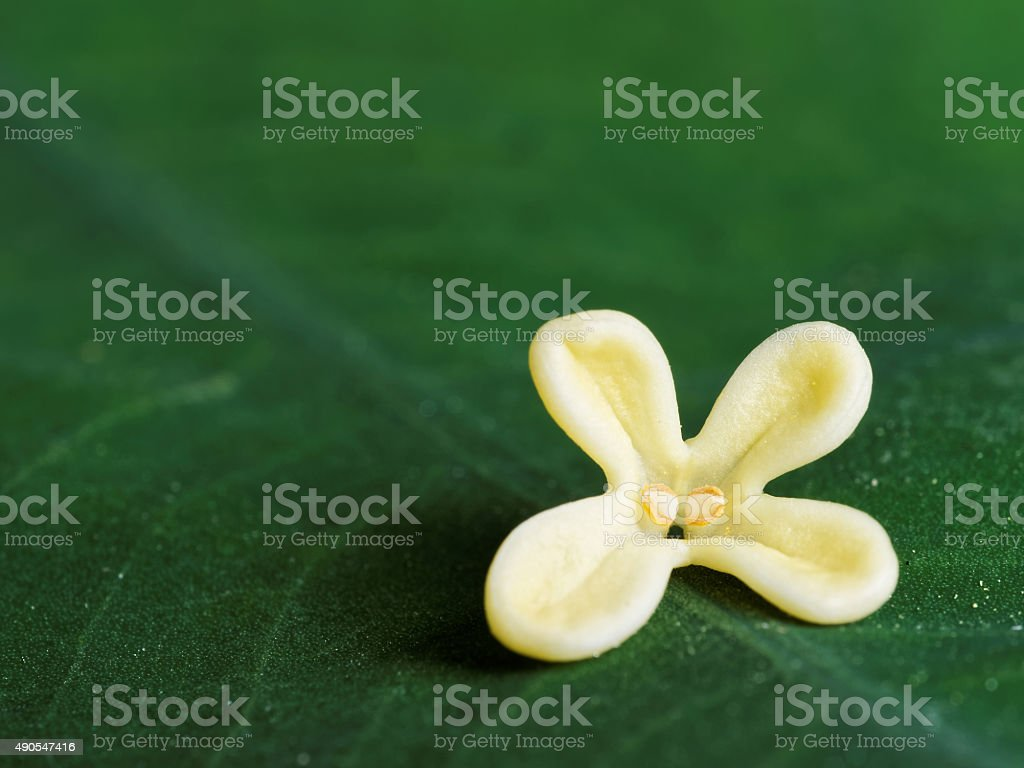 Yellow Color Flowers Of Osmanthus On Big Green Leaf Background Stock ...