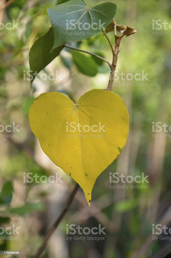 Yellow color love shape leaf.jpg royalty-free stock photo