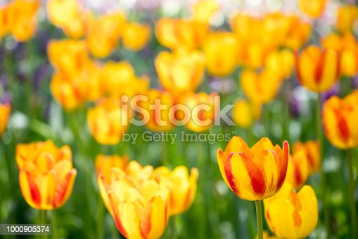 istock Yellow color of blooming tulip flower on garden background 1000905374