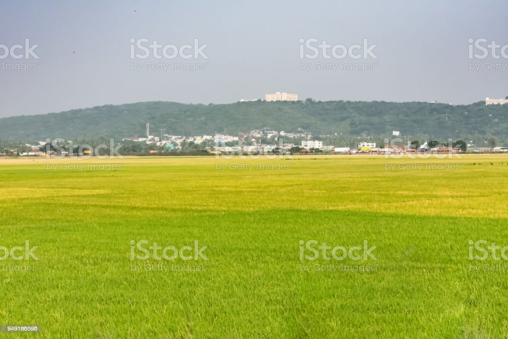 yellow color paddy farming is ready for harvesting looking awesome near with a city mountain view. stock photo