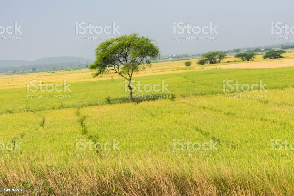 yellow color paddy farming is ready for harvesting looking awesome. stock photo