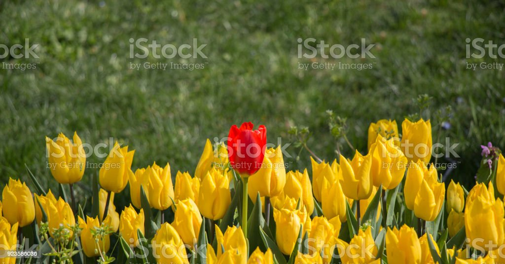 Yellow color Tulips Bloom in Spring stock photo