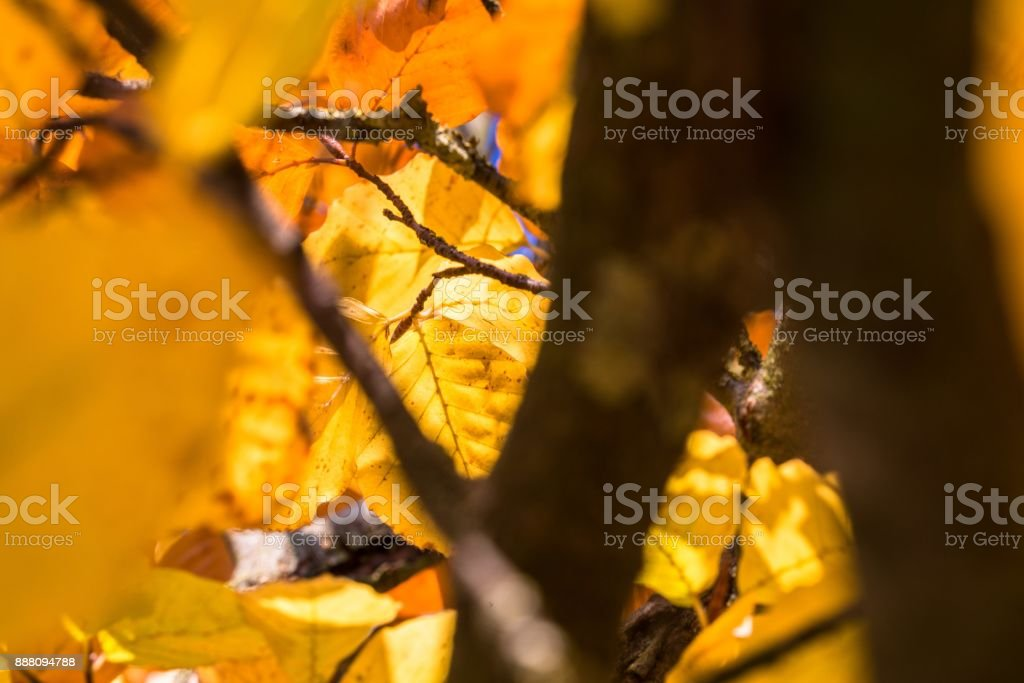 Yellow colored autumn leaves on a tree limb stock photo