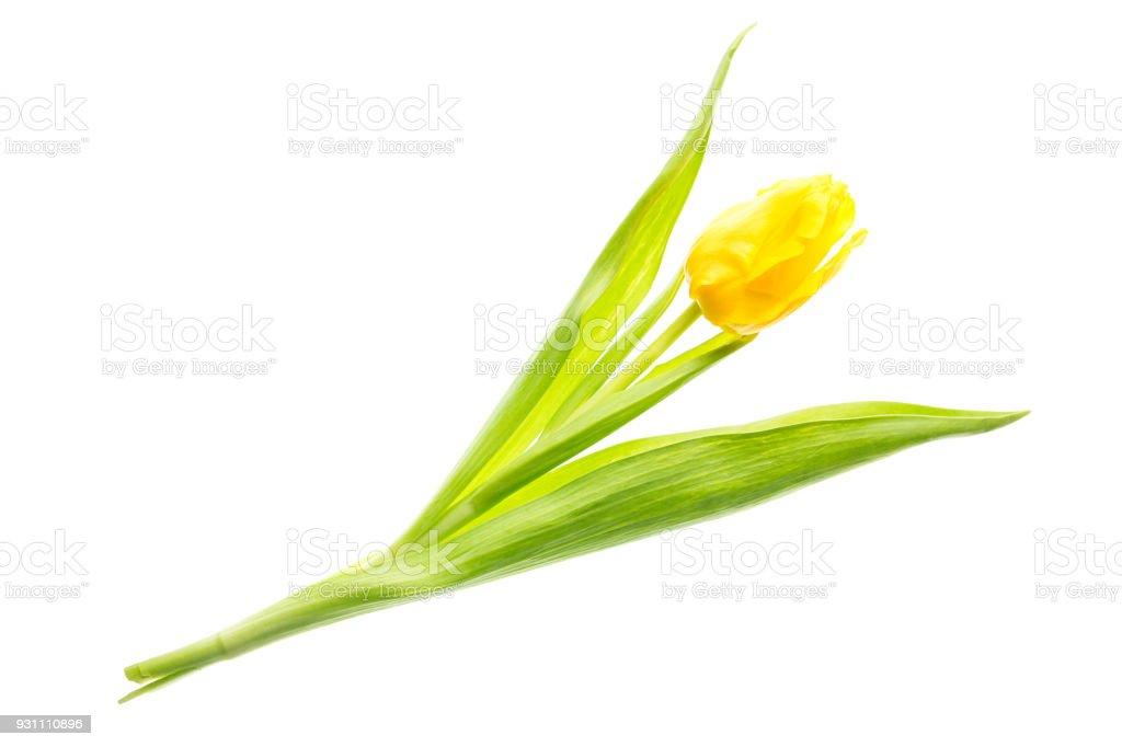 Beyaz arka plan üzerinde izole sarı renkli Lale çiçek. Mothersday veya bahar kavramı. - Royalty-free Aydınlık Stok görsel