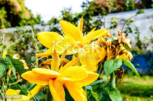 Yellow colour Calla lily, a species of herbaceous Daisy, perennial flowering plants in the  Araceae Daffodil family in bloom. Summer environment Backgrounds photography.