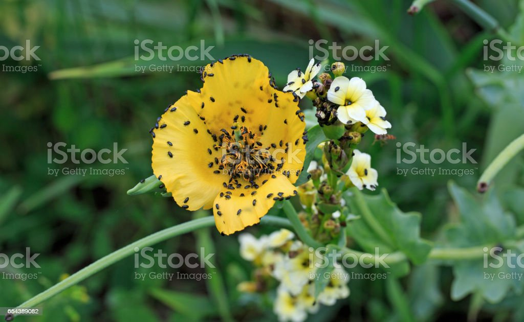 Yellow Coloured Flower covered inBlack Bugs stock photo