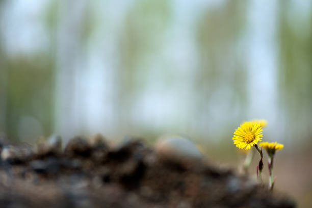 Yellow coltsfoot (Tussilago farfara) flowers in spring. stock photo