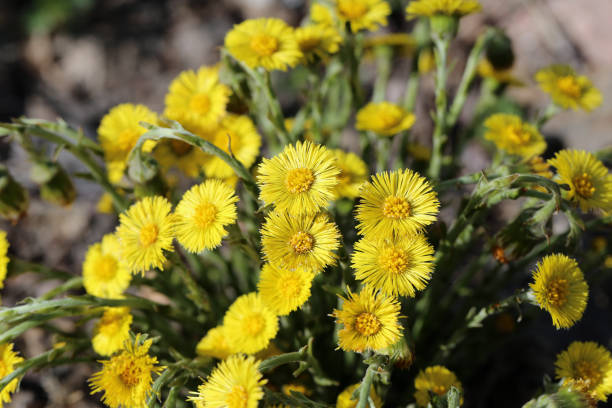 Yellow Coltsfoot (Tussilago Farfara) Flowers Photographed in Finland stock photo
