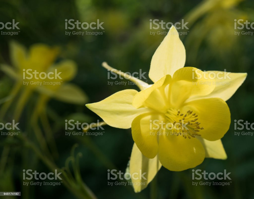 Yellow Columbine Stock Photo More Pictures Of Beauty Istock