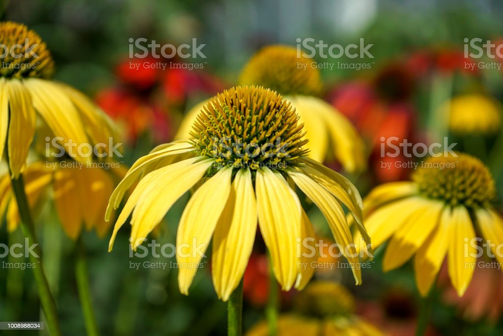 Yellow Cone Flowers with blurred background stock photo