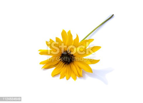 Yellow coneflower isolated on white background