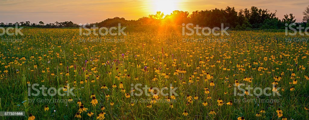 Yellow Coneflowers and Gayfeather at Sunset, Cherokee Prairie, Arkansas stock photo