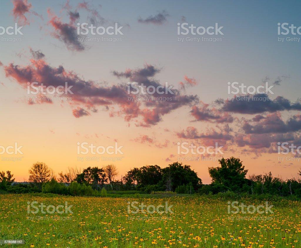 Yellow Coneflowers and Sunset Clouds, Cherokee Prairie, Arkansas stock photo