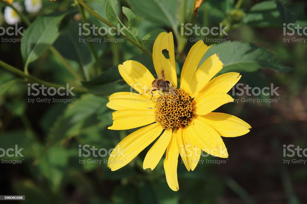 yellow coreopsis flowers and bee royalty-free stock photo