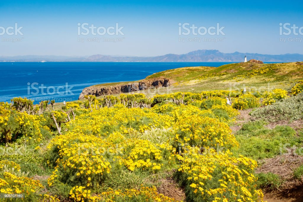 Yellow Coreopsis flowers on Anacapa Island in Channel Islands National Park California stock photo
