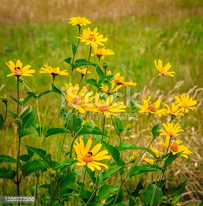 Yellow coreopsis flowers grow at the edge of a Cape Cod meadow on an early July afternoon.