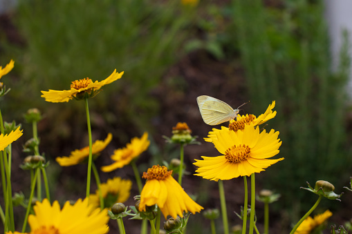 Yellow Coreopsis lanceolata (Garden coreopsis, Lance-leaved Tickseed) flowers and common cabbage (cabbage, cabbage white) butterfly.