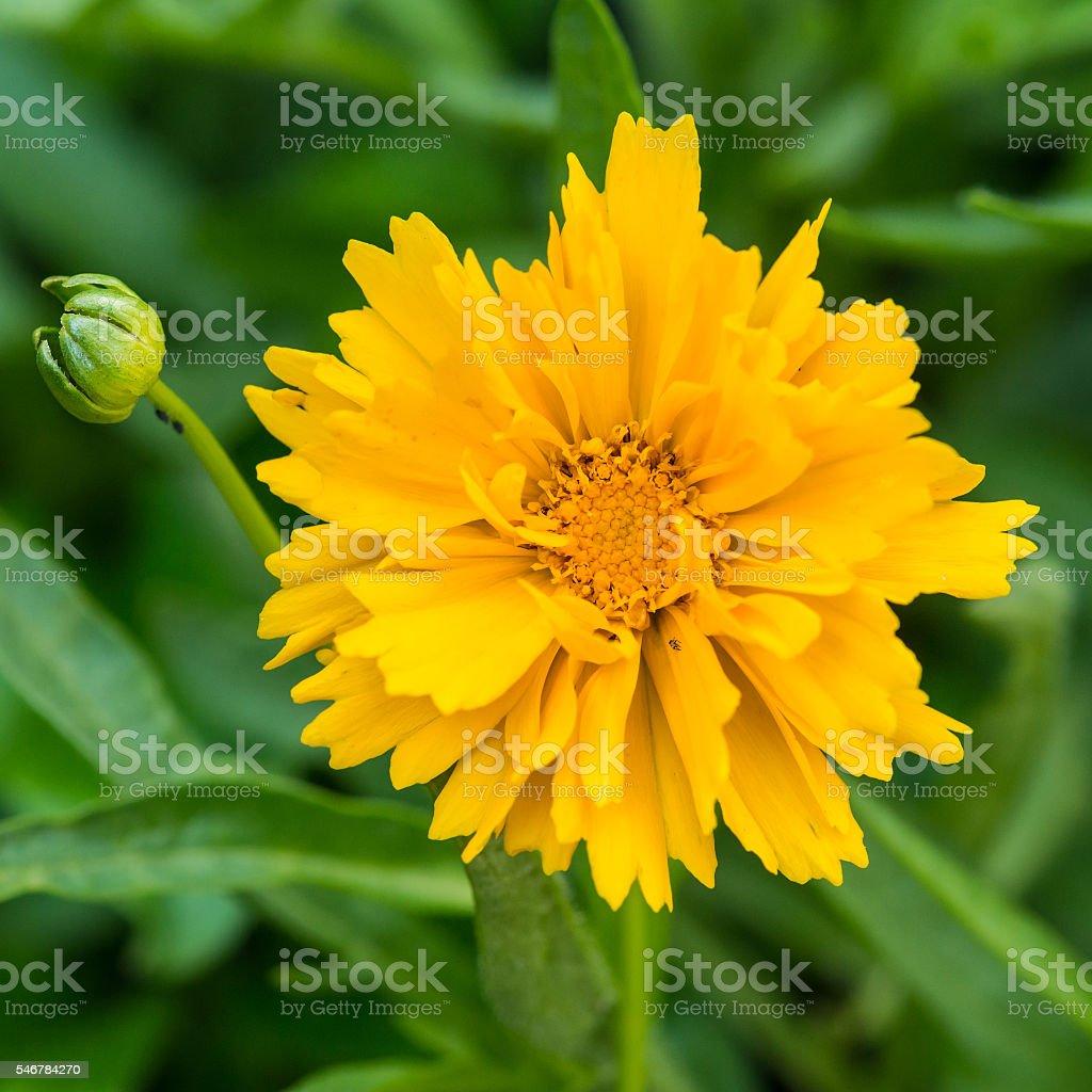 Yellow Coreopsis stock photo