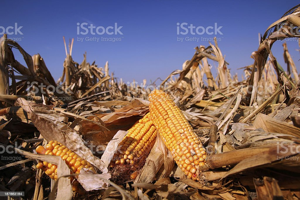 Yellow Corn in the  Field stock photo