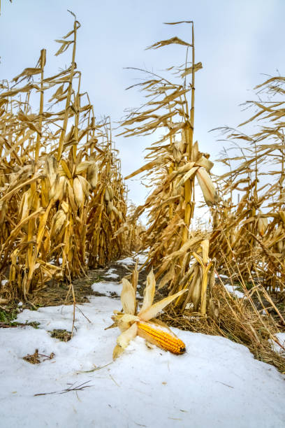 Yellow corn that has not been harvested due to early snowfall, climate change stock photo