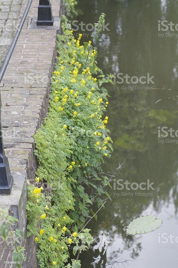 Yellow Corydalis (C. lutea) on Canal Wall stock photo