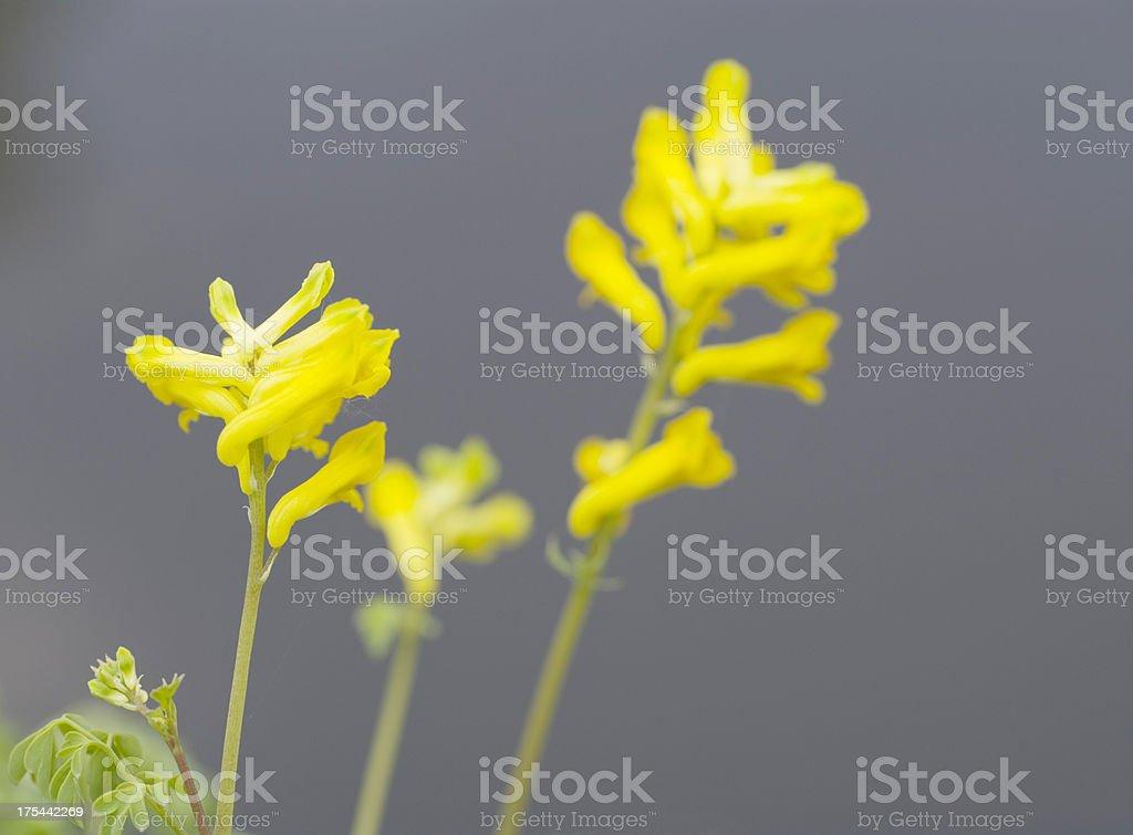 Yellow Corydalis (C. lutea) stock photo