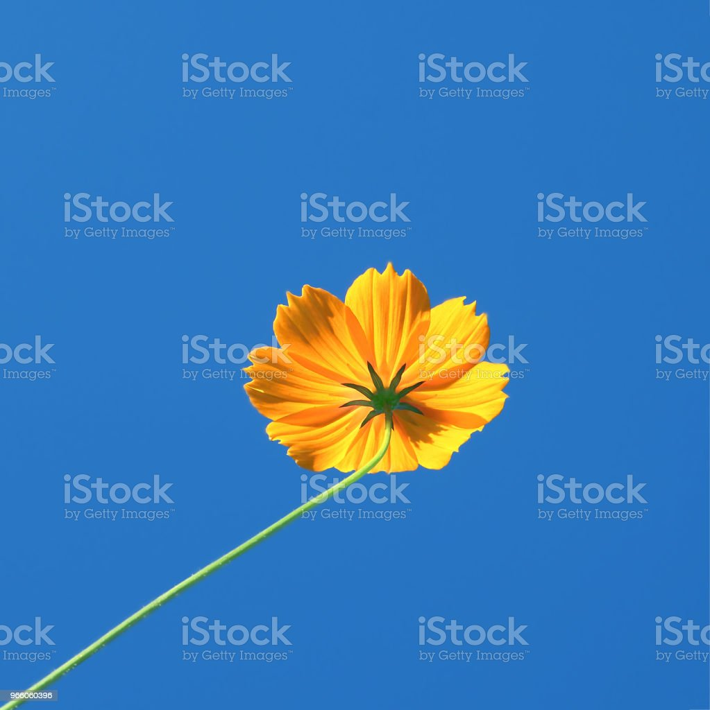 Yellow Cosmos flower and blue sky - Royalty-free Agricultural Field Stock Photo