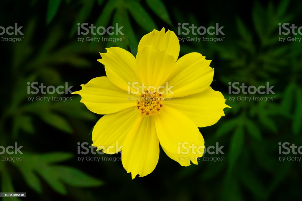 Yellow cosmos flower on leaf background stock photo more pictures yellow cosmos flower on leaf background royalty free stock photo mightylinksfo