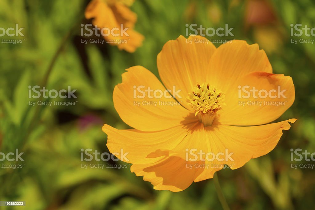 yellow cosmos flower stock photo
