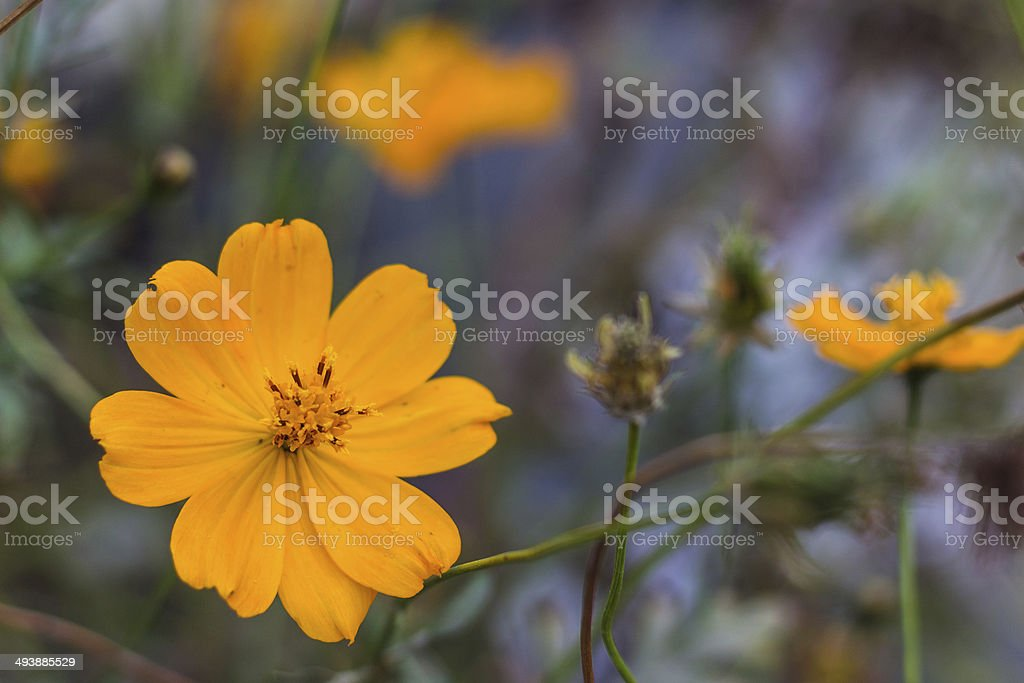Yellow Cosmos stock photo