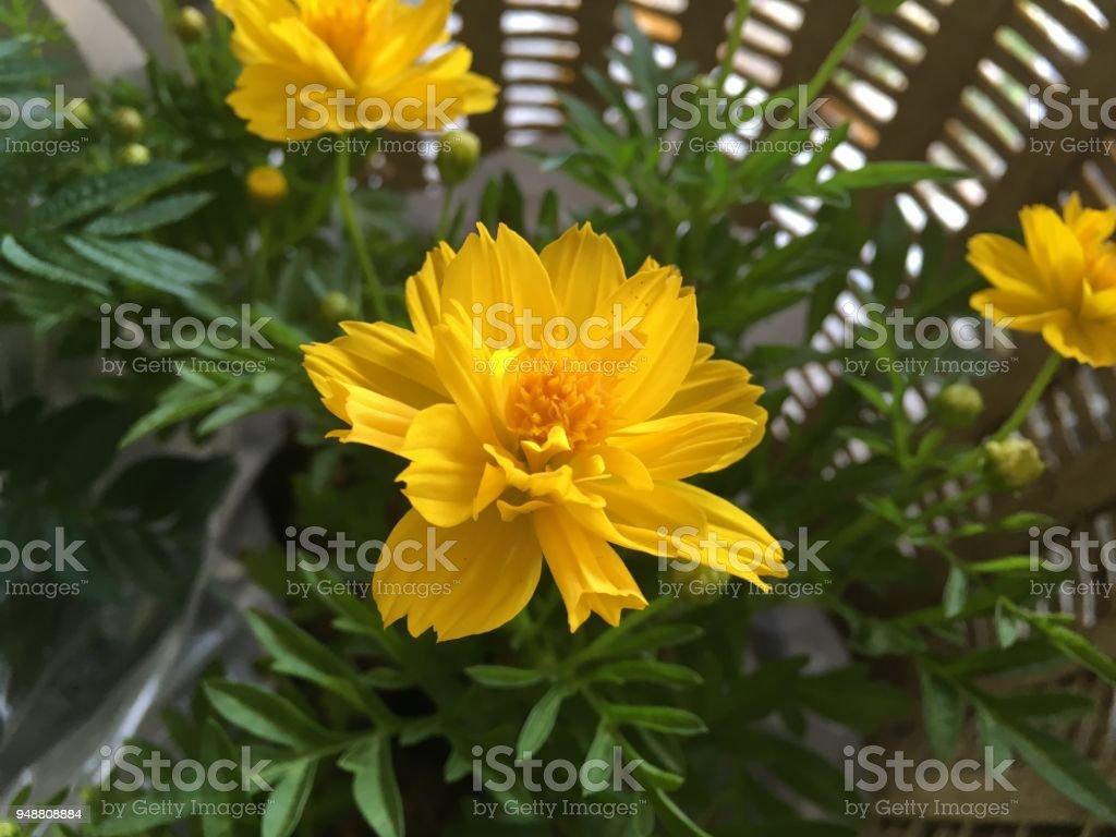 Yellow cosmos sulphureus flower in nature garden stock photo more yellow cosmos sulphureus flower in nature garden royalty free stock photo mightylinksfo
