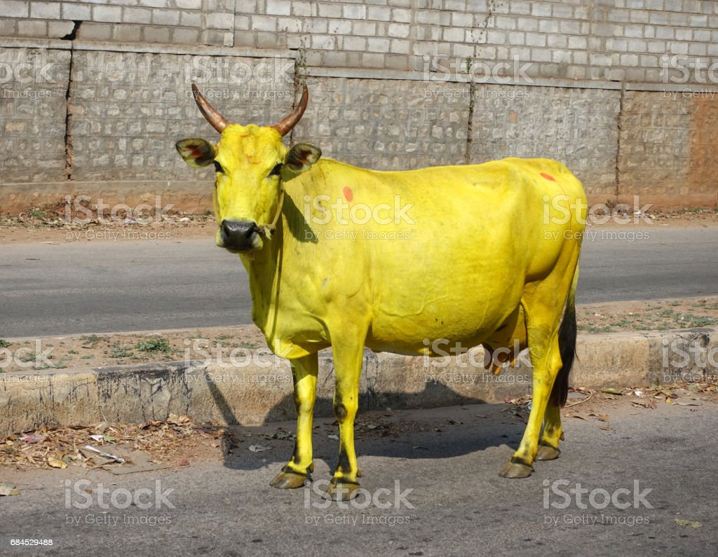 yellow cows stock photo amp more pictures of 2017 istock