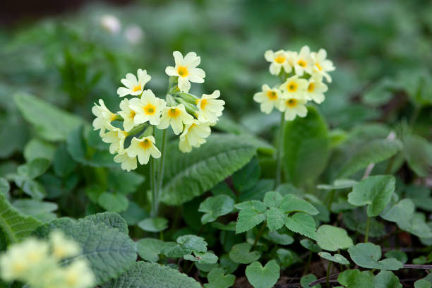 Yellow Cowslip Primrose flowers, Primula Veris Yellow Cowslip Primrose flowers, Primula Veris primula stock pictures, royalty-free photos & images
