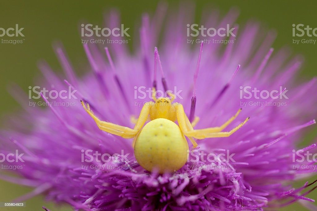 Yellow Crab Spider on a thistle head. stock photo