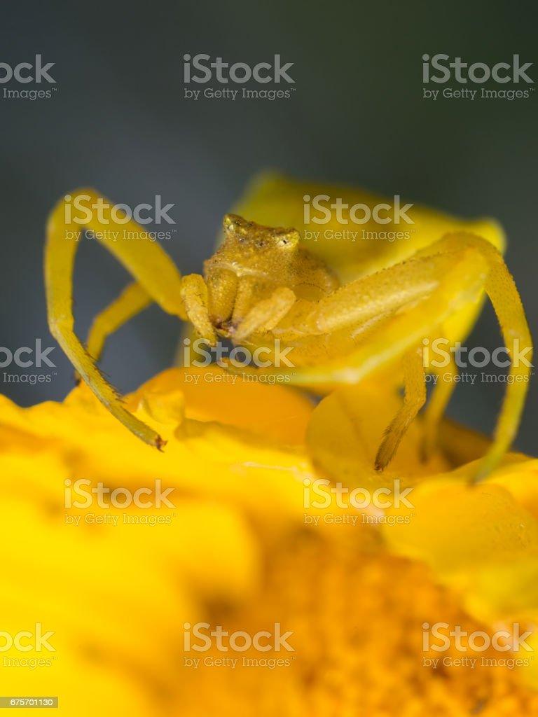 Yellow Crab Spider royalty-free stock photo