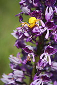 Yellow crabspider on a violet orchid.