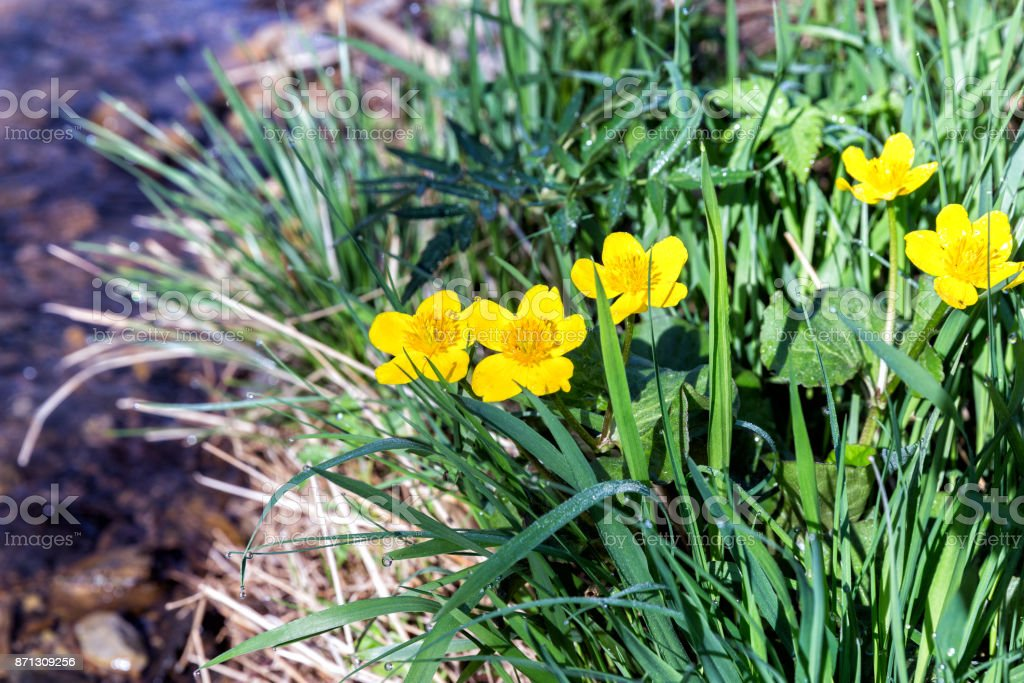 Yellow Creeping Buttercup Flowers on the river bank, Ranunculus repens stock photo