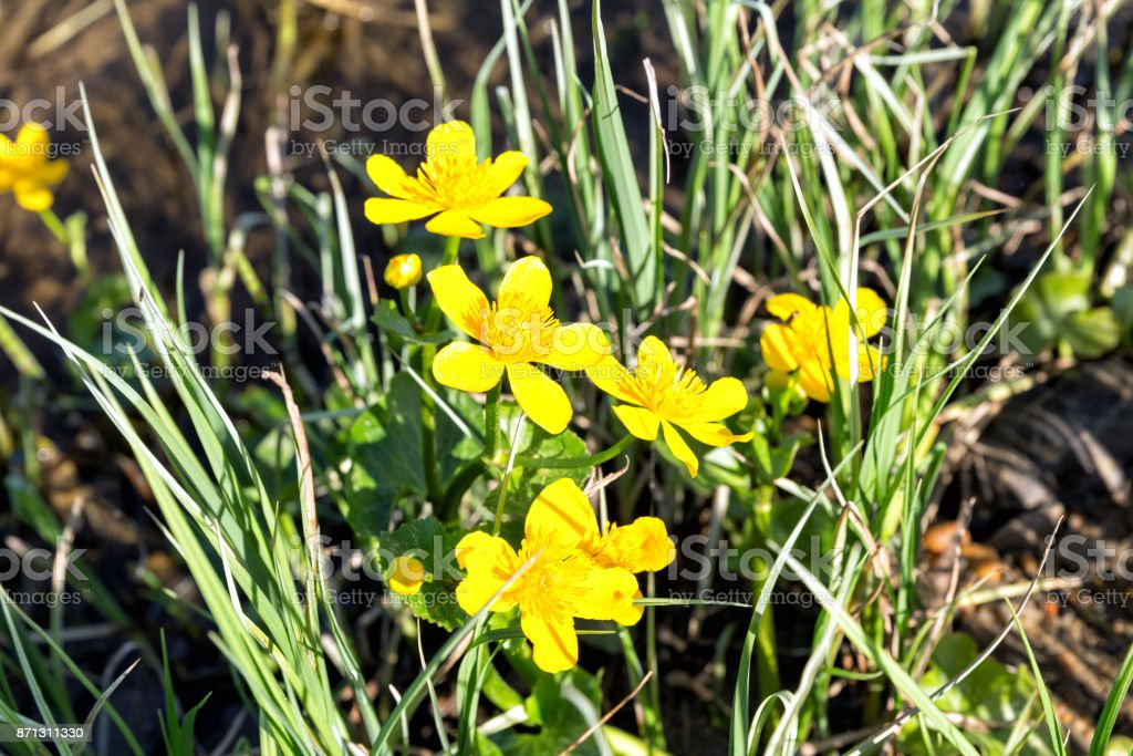Yellow Creeping Buttercup Flowers, Ranunculus repens stock photo