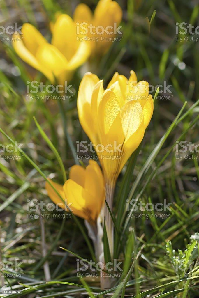 Giallo fiore Croco foto stock royalty-free