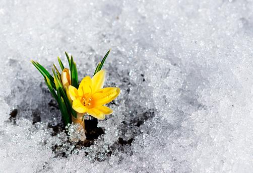 single yellow crocus in snow