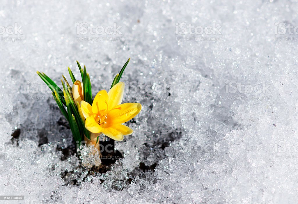 yellow crocus in snow stock photo