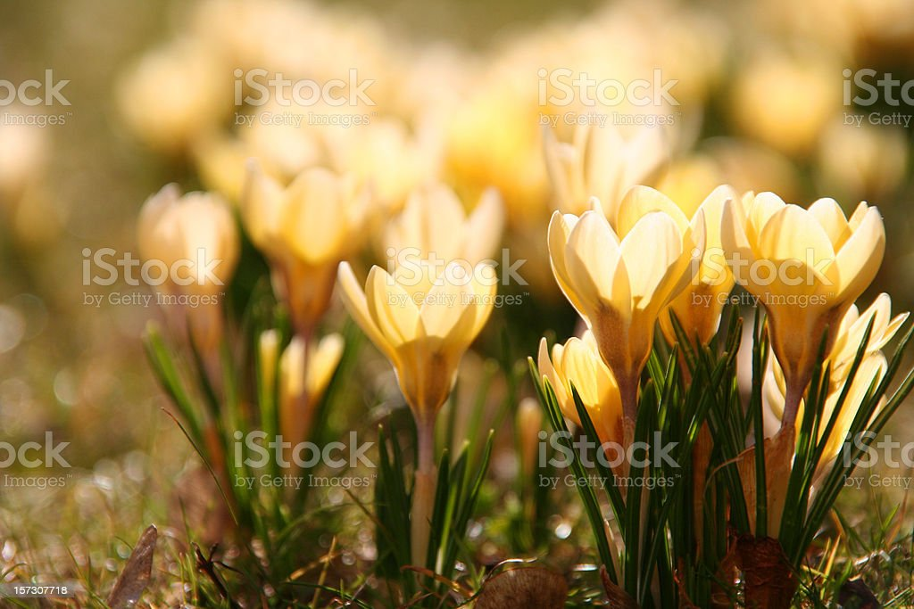 yellow crocus in springtime royalty-free stock photo