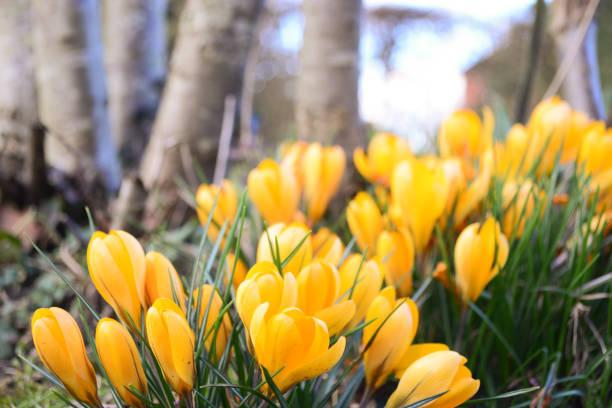 Yellow Crocus Spring Flower stock photo