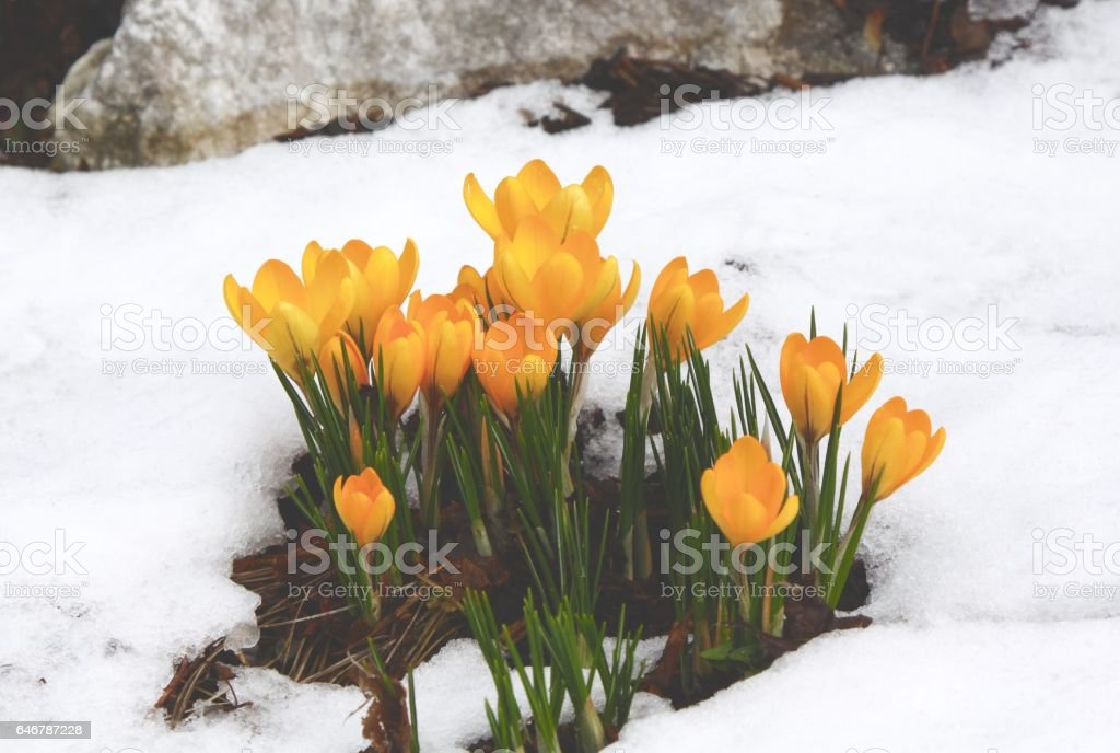 Yellow Crocuses Bursting Up Through Melting Snow stock photo